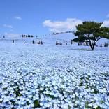 【2020】全国のネモフィラ名所おすすめ17選!美しすぎる青い花絶景!