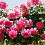 【全国】バラ園・ローズガーデン32選!華やかで美しいバラを見に行こう!
