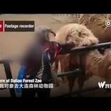 動物園で女がラクダの毛をはぎバッグに詰め込む(中国)<動画あり>