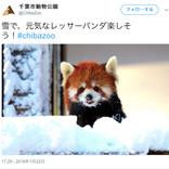 雪をシャクシャク食べるカピバラに雪見プールで泳ぐペンギン! 各地の動物園が珍しい動物達の姿を公開中