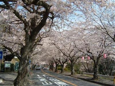 伊豆高原桜まつり
