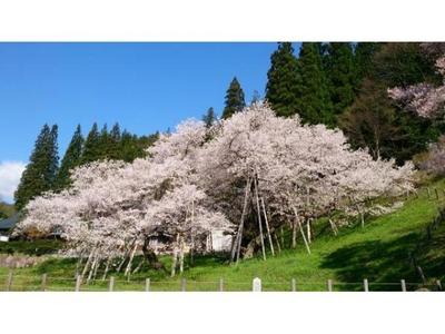 臥龍桜・桜まつり