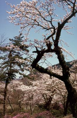 小涌谷の桜(蓬莱園)