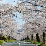 【桜の絶景名所】「長瀞」お花見攻略ガイド!2018年見頃や回り方も【埼玉】