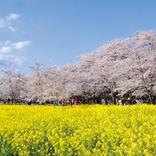 桜の絶景名所を網羅!失敗しない「お花見完全ガイド」2018【関東近郊】見頃情報も