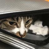 覚悟して見よ! カバンに入った猫、次なる行動に「可愛い」「段違いの威力だ」