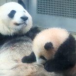 竹を取ろうとするシャンシャンに一撃!母パンダの育児に余裕を感じる