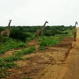 野良ゼブラと野良キリンも撮れたよ~! マサイの村の野良動物事情 / マサイ通信:157回
