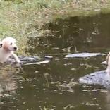 水を怖がる子犬たちに泳ぎを教えるお父さんワンコ 動画の結末に微笑む