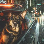 モデル顔負けのカッコよさ 本物の警察犬が主役のカレンダーが大人気