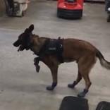 カッコいい警察犬が初めて雪用のブーツを履いたら 大笑いする人が続出