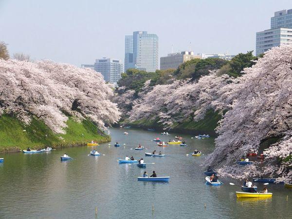 千鳥ケ淵緑道の桜並木
