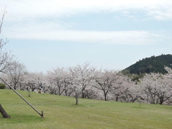 入田桜づつみ・菜の花