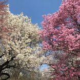 【2019】東京のおすすめ桜名所50選!お花見に出かけよう♪