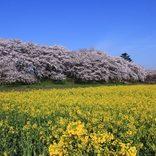【2020】埼玉で桜・芝桜が楽しめるスポット12選!お花見に出かけよう♪