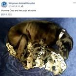 グレート・デーン、19匹の健康な赤ちゃんを帝王切開で出産(米)