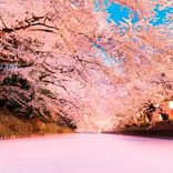東北「お花見スポット&桜祭り」37選!名所から穴場まで。2019年見頃をチェック