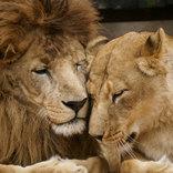 「動物にも愛がある」 ライオン夫妻を撮影した9枚の写真が胸を打つ