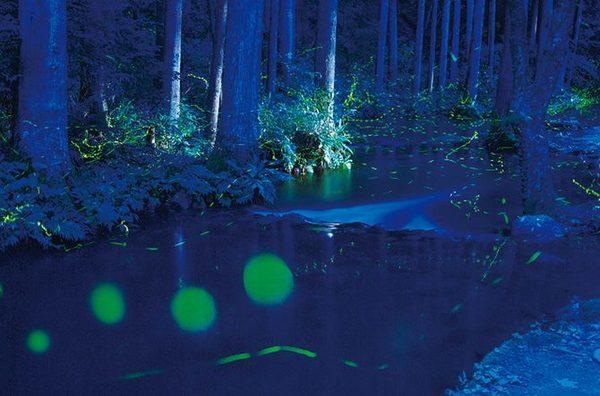 ホタルの光は仲間内の会話手段。観賞時はライトなどを使わないように。
