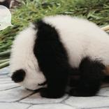 【パンダでおぼえる】もふもふ癒やされながら英語&熟語が身につく!参考書新シリーズ