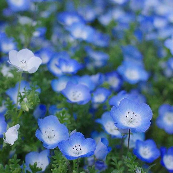 花 言葉 オオイヌノフグリ オオイヌノフグリ(花)