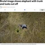 象牙ビジネスの悲惨な現実 顔がえぐられ鼻が切り離されたゾウ(ボツワナ)