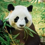 「コラ、起きて動け」 動物園のパンダに見学者が起こした迷惑行動