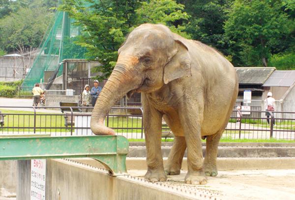 岡崎市東公園動物園 アジアゾウのふじ子ちゃん
