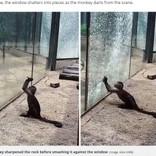 動物園のサル、尖った石を使ってガラスを割る(中国)<動画あり>