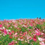 こんな絶景知ってた?秋に行きたい四国のおすすめ「コスモス畑」4選