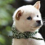 豆助が歴代初の白い柴犬に! 「二代目和風総本家」二十三代目・豆助が「むっちゃ可愛い」と話題