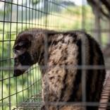 1杯1万円ものコーヒーの影で、ジャコウネコの悲惨な飼育状況(ベトナム)