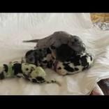 グレート・デーンから緑色の仔犬が誕生(米)<動画あり>