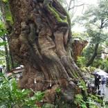1本の木に会いに行く(10)パワースポット・来宮神社の大楠<静岡県>
