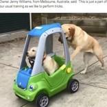 きょうだいが乗るおもちゃの車を押すラブラドール犬(豪)<動画あり>