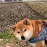 柴犬が変なボールを見つけた結果→「それカボチャ」「ちょっと腰引けてる」