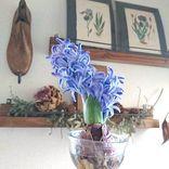 春の香りをお部屋で楽しもう!見た目もすてきなヒヤシンスに夢中♡