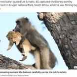 まるで『ライオン・キング』のワンシーン ライオンの赤ちゃんを抱く野生ヒヒ(南ア)<動画あり>