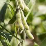 大豆と枝豆の違いは?栄養素やレシピをご紹介!黒豆との違いも