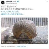 上野動物園のアルマジロが丸くなるところを動画で撮れるかな?  動画ツイートが話題に「ボールが急に動き出した」
