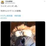 ライオンのお昼寝姿に「抱っこして一緒に寝たい」「近い~!」の声