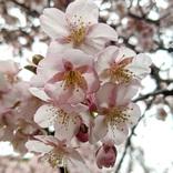 【春を先取り】1人で新宿御苑に「桜を見る会」しに行ってきた!