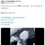 ジェンツーペンギンが「おっとっと」 新雪の上で歩く姿に「ヨタヨタ感がたまらん」の声
