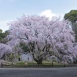 【お花見特集2020】東京の特別名勝庭園「六義園」で愛でる圧巻のしだれ桜