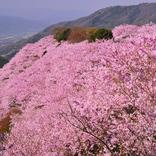 【お花見特集2020】山一面に桜が咲き誇る「八百萬神之御殿」