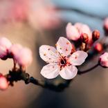 花と共に重ねる片想いの年月 一年中聴きたいコブクロ「桜」を考える