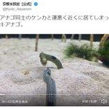 チンアナゴ同士のケンカに運悪く居合わせたニシキアナゴ! 京都水族館のツイート投稿が話題に「ご近所トラブルに巻き込まれた」