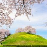 【お花見特集2020】古墳の頂上に茂るソメイヨシノ「さきたま古墳公園」