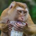 タピオカの配達に行ったら猿が商品を強奪 猿界にタピオカブーム到来か