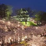 【お花見特集2020】約3千本のぼんぼりが優しく桜を照らす「高田公園」